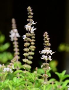 fleurs de basilic