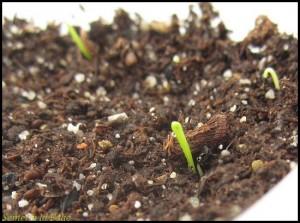 plantules ciboulette