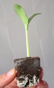semis courgette