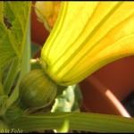 fleur de courgette ronde femelle