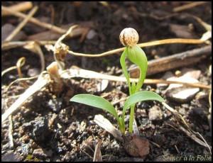 plantule coriandre