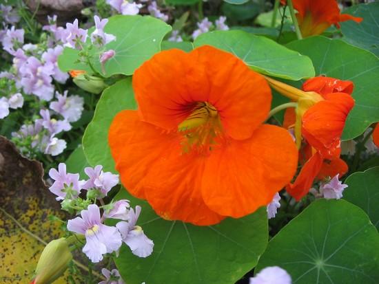des fleurs au potager | semer à la folie