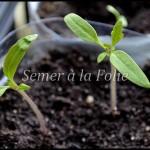 Plantules tomates cerises