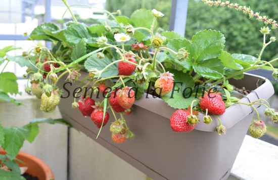 comment planter fraisier en pot