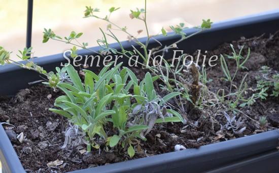 jardiniere-sauge