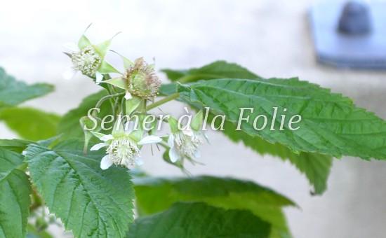 fleur-framboisier