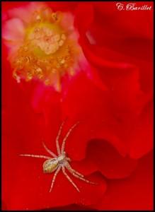 araignée rosier