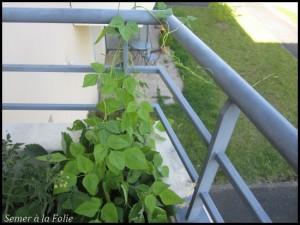 haricot grimpant balcon