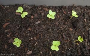 radis-jardiniere