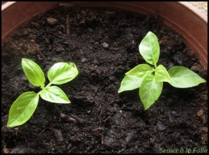 plantules basilic