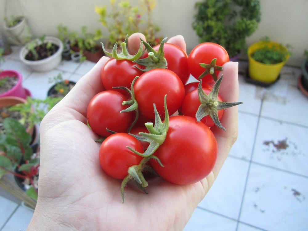 tomates délice du jardinier