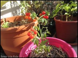 Tiny Tim fin septembre : Les tomates continuent de mûrir !