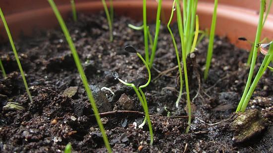 semis ciboulette
