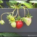 fraises en pot