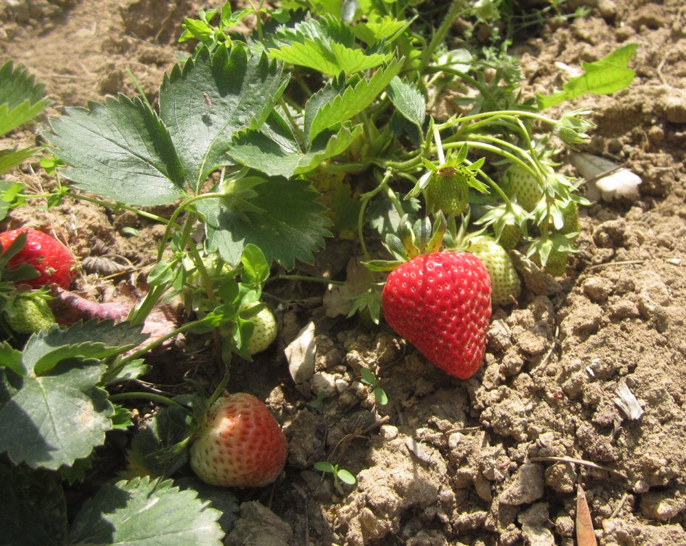 Quel Fruit Planter Au Printemps cultiver le fraisier | semer à la folie