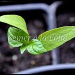 plantule poivron