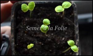 semis balsamine
