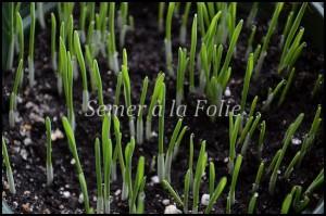 semis herbe à chat