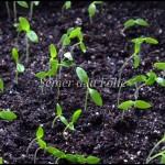 semis persil
