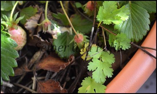 coriandre-fraises